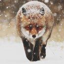 Аватар пользователя fox