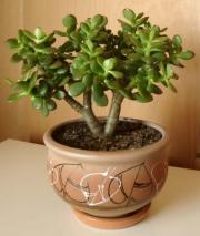 Дерево Фэн-шуй как улучшить жизнь